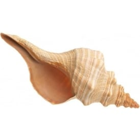 Natural Conch Horse Seashell (12
